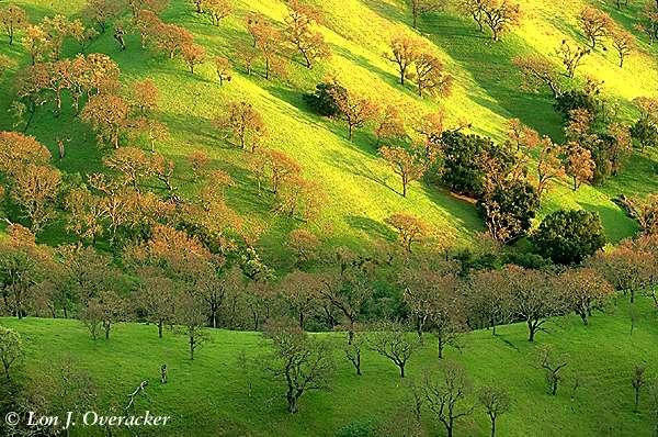 Oaks in Spring (69k)