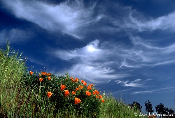 Poppies and Sky (74k)